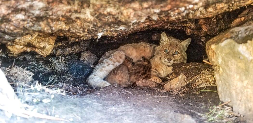 Bobcat Den