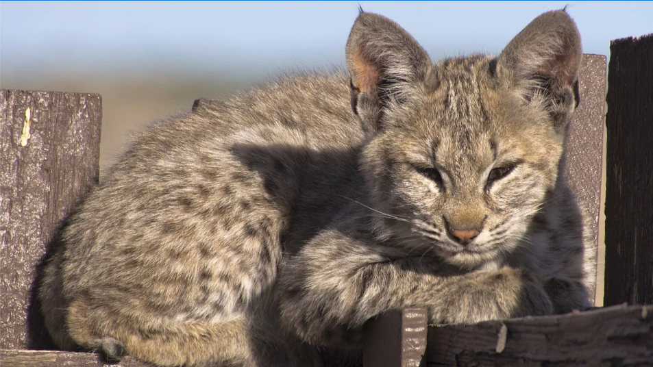 Bobcat Kittens Receive 3D Printed Tracker Collars to Improve Tracking of Population